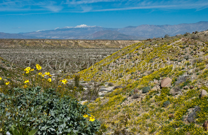 Desert poppy, and brittlebush on the mountainside in Anza Borrego State Park, California, USA.