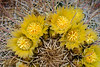 Desert barrel cactus blooming in the Anza-Borrego State Park ,California, USA.