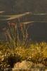 Ocotillo in bloom, Anza-Borrego Desert SP, CA (8)