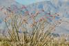 Ocotillo in bloom, Anza-Borrego Desert SP, CA (1)
