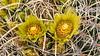 Desert barrel cactus blooming in the Anza-Borrego State Park ,California, USA.