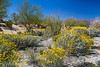 Spring desert wildflowers blooming in the Anza Borrego Desert State Park, near Borrego Springs, California, USA.