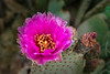 Beavertail cactus blooming in the Anza-Borrego State Park ,California, USA.