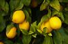 Closeup of lemon citrus on orchard trees in Anza Borrego State Park, California, USA.