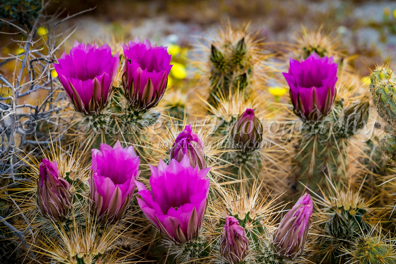 Desert Hedgehog cactus blooming in the Anza-Borrego State Park in the 2019 Superbloom, California, USA.