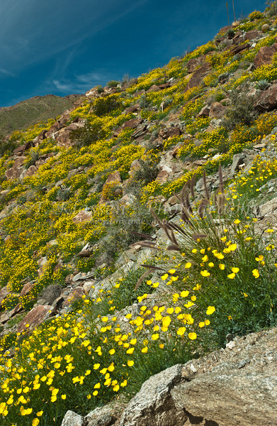 Desert poppy, and brittlebush on the mountainside in Anza Borrego State Park, California, USA.