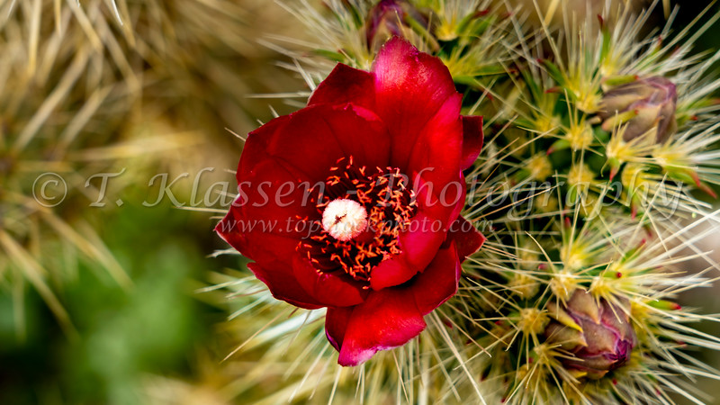 Desert cholla cactus blooming in the Anza-Borrego State Park ,California, USA.