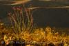 Ocotillo in bloom, Anza-Borrego Desert SP, CA (7)