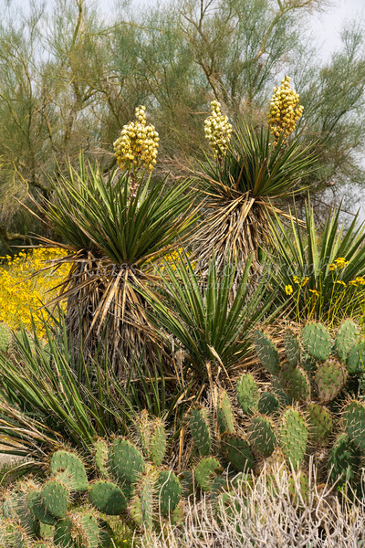 The yucca and brittle bush  blooming in the Anza-Borrego State Park ,California, USA.