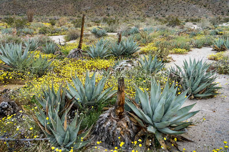 Desert wildflowers blooming in the Anza-Borrego State Park in the 2019 Superbloom, California, USA.