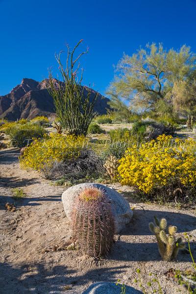 Spring desert wildflowers blooming in the Anza Borrego Desert State Park, near Borrego Springs, California, USA.