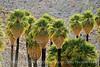 Mt Palm Springs oasis, Anza-Borrego (4)