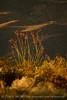 Ocotillo in bloom, Anza-Borrego Desert SP, CA (5)