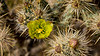 Desert Buckhorn cholla cactus blooming in the Anza-Borrego State Park ,California, USA.