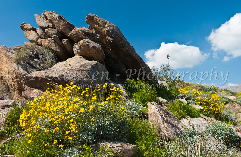 Hillsides in Anza Borrego State Park covered with brittlebush, desert poppies and various cacti, California, USA.