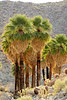 Mt Palm Springs oasis, Anza-Borrego (3)