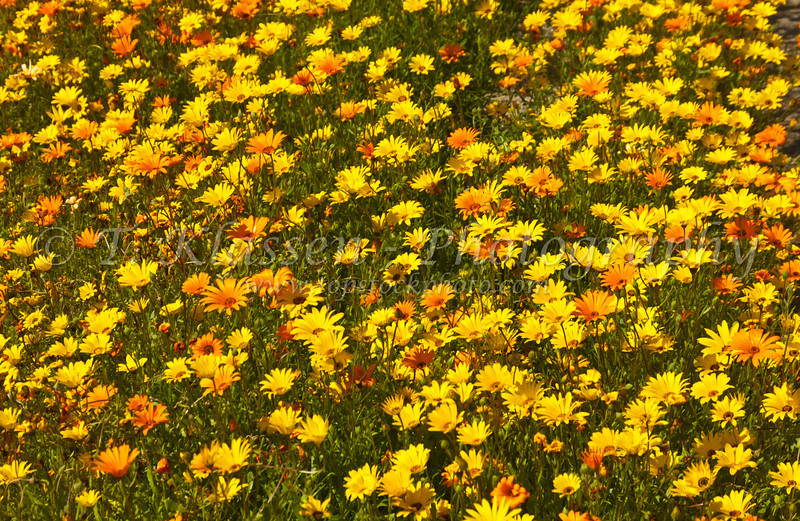 Fields of African daisies in Anza Borrego State Park, California, USA.