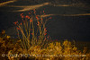 Ocotillo in bloom, Anza-Borrego Desert SP, CA (6)