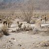 Ocotillo in Desert Garden