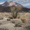 Ocotillo Plant with Mountains on Background
