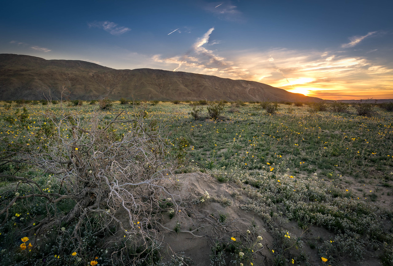 Spring Bloom and Sunrise - Anza-Borrego State Park, CA, USA