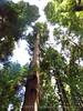 Henrky Cowell Redwoods State Park CA (41)