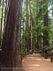 Henrky Cowell Redwoods State Park CA (54)
