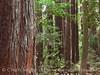 Henrky Cowell Redwoods State Park CA (56)