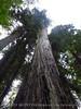 Henrky Cowell Redwoods State Park CA (49)
