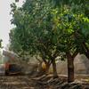 Harvesting tree line