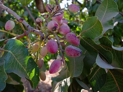 Madera: Pistachio Harvest