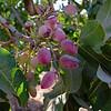 Pistachio on the tree