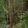 Sequoias - 10