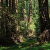 Sequoias - 1