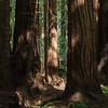 Sequoias - 7