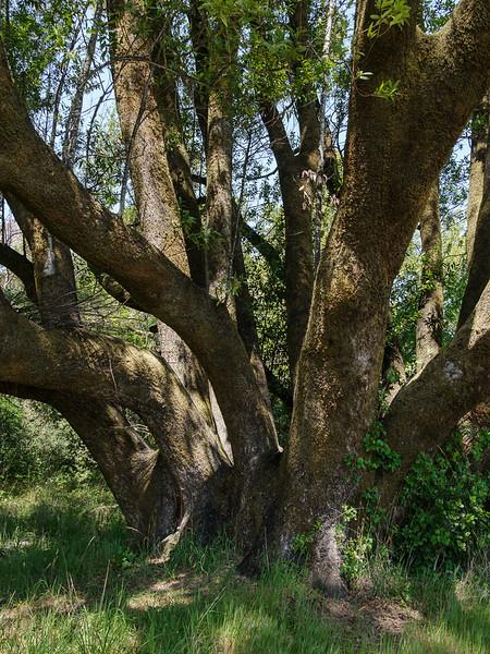 Multi Trunk Tree