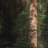 Sequoias - 2