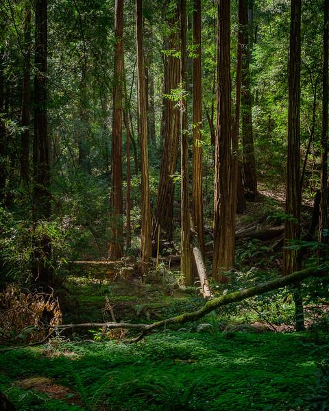 Sequoias - 8