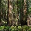 Sequoias - 4