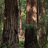 Sequoias - 3