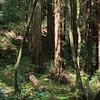 Sequoias - 6