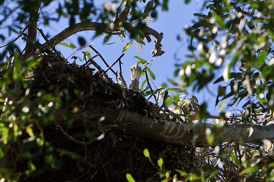 Great Blue Heron chick peering over edge of nest