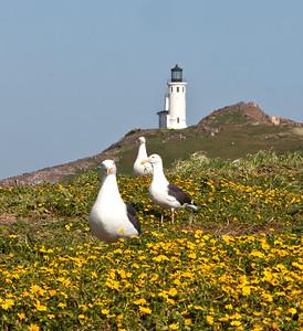 Western gulls, goldfields, lighthouse