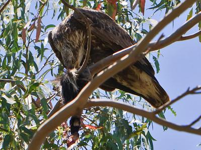 Immature bald eagle feeding on prey - possibly skunk