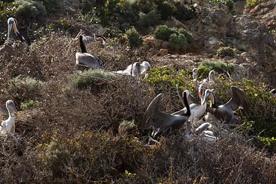 Nesting California Brown Pelicans, West Anacapa Island