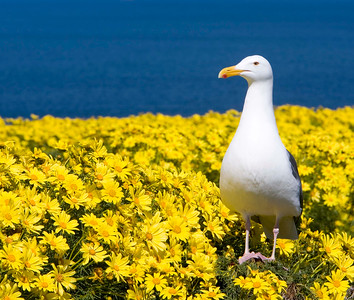One of more than 10,000 western gulls that nest on the island during spring and summer.
