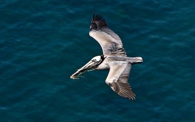 California brown pelican with nesting material