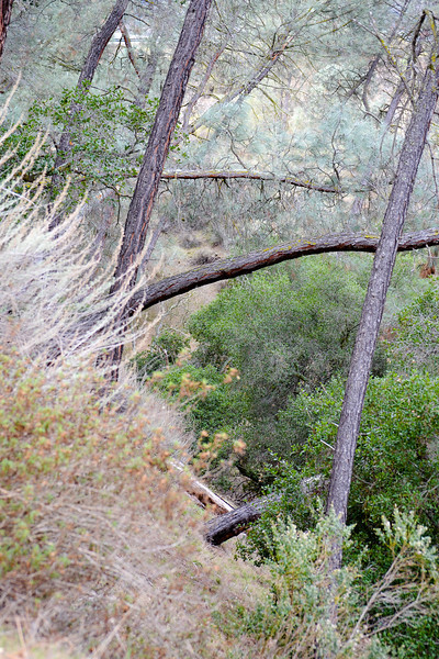 Black Sage Trail.... the trees grow crooked toward the ravine.