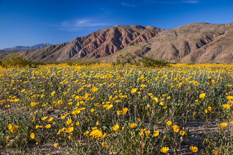 Spring desert wildflowers near Borrego Springs, California, USA.
