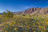 Spring desert wildflowers near Borrego Springs, California, USA.